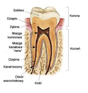 ząb-budowa